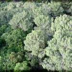 800px-PikiWiki_Israel_28858_Pine_Trees_at_Carmel_Mountain